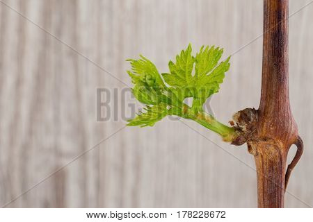 The green young grapes sprouts on a wooden background