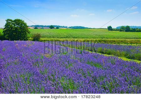 Lavender field in the Shropshire countryside