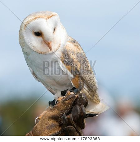 Barn Owl perched on handlers glove
