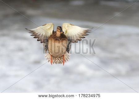 Portrait of a duck in flight in winter