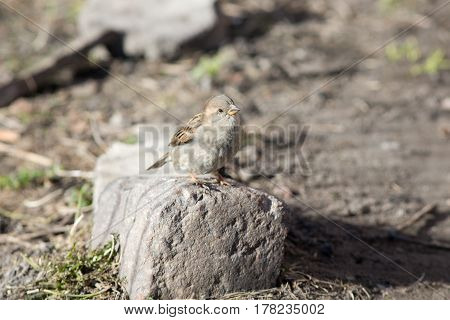 portrait of a sparrow on a stone