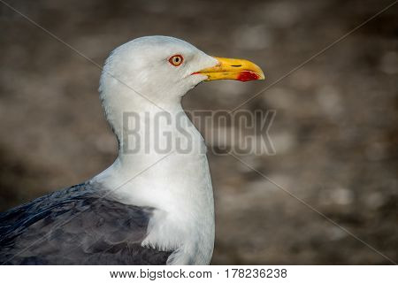 Close up portrait of a herring gull in profile looking right with natural background