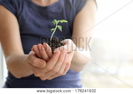 gardener holding a young sprout seedlings to the ground / care when transplanting plants