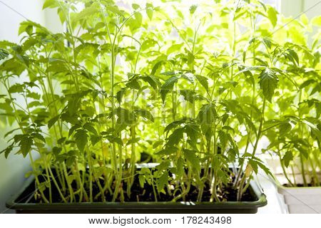 Green indoors. Color of life. Green tomato seedlings planted in boxes in a greenhouse. Seedlings of tomatoes on the background of the window. Sprouts in a wooden box