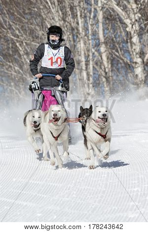PETROPAVLOVSK-KAMCHATSKY KAMCHATKA PENINSULA RUSSIA - FEBRUARY 23 2017: Kamchatka Kids Competitions Sled Dog Race Dyulin (Beringia). Runs dog sled young Kamchatka musher Popova Elizabeth.
