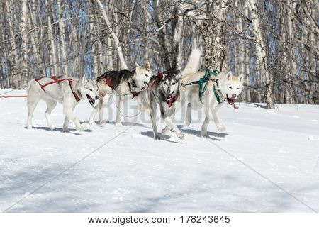 PETROPAVLOVSK-KAMCHATSKY KAMCHATKA PENINSULA RUSSIA - FEBRUARY 23 2017: Kamchatka Kids Competitions Sled Dog Race Dyulin (Beringia). Runs dog sled young Kamchatka musher Kazantseva Maria.