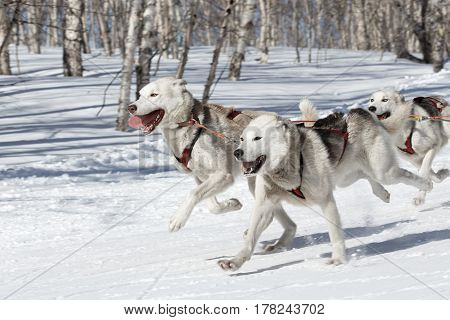 PETROPAVLOVSK-KAMCHATSKY KAMCHATKA PENINSULA RUSSIA - FEBRUARY 23 2017: Kamchatka Kids Competitions Sled Dog Race Dyulin (Beringia). Runs dog sled young Kamchatka musher Elizabeth Popova.