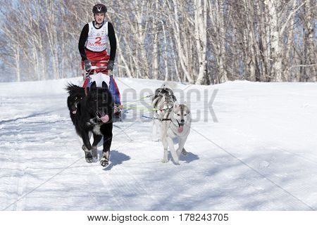 PETROPAVLOVSK-KAMCHATSKY KAMCHATKA PENINSULA RUSSIA - FEBRUARY 23 2017: Runs dog sled young Kamchatka musher Lyulin Kirill. Kamchatka Kids Competitions Sled Dog Race Dyulin (Beringia).