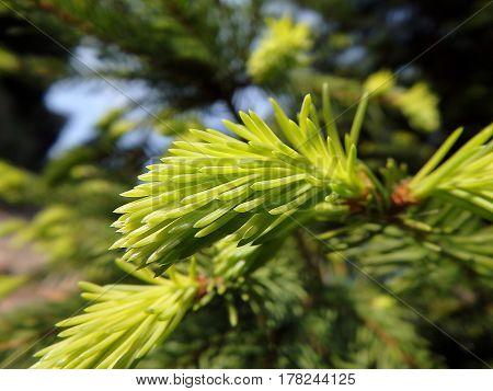 green twig spruce , green needles ,