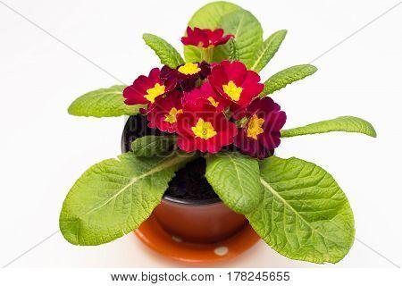 Fresh flowers primula flowerpot isolated on white background