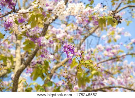 Lagerstroemia loudonii flower tree on blue sky background
