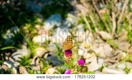 Butterfly is sucking sweet water from flowers. Amaranth flowers with brown butterfly
