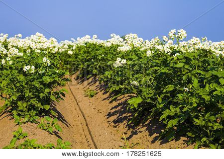 Blooming Potato Field On A Sunny Summer Day.