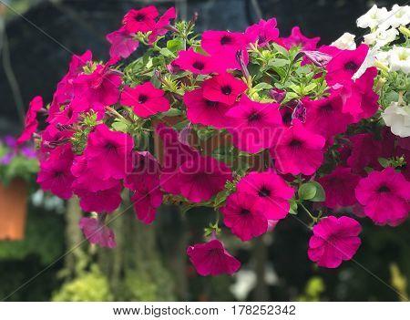 Beautiful hanging pink Petunia in pot - nature background