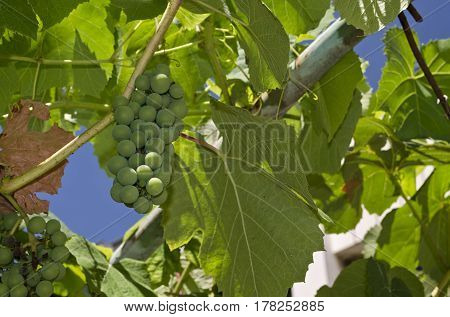 Growing bio grapes in the northern Bulgaria