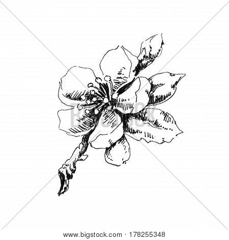Flowering apple tree branch. Hand drawn sketch