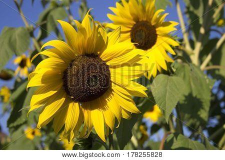 Blumen Blüten blume flora gelb yellow sommer summer sonne sun sonnenblume sunflower sonnenlicht sun gegenlicht backlight