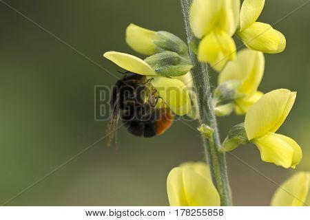 Hummel Blüte gelb Makro Nahaufnahme Blume Pflanze plant flower macro yellow bloomy bumblebee Natur nature