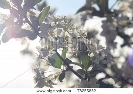 Kirschblüten Blüten Baum Pflanze weiß Gegenlicht cherry blossom bloomy tree plant white backlight
