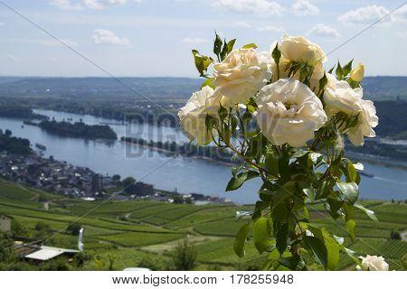 Rose Blume Blüte flower bloomy weiß white creme Rhein rhine Landschaft landscape