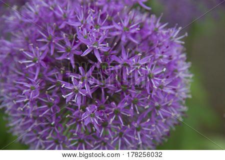 allium allium christophii alliumchristophii blühen blühend blüten christophii entwicklung frühjahr frühling garten lauch lila nahaufnahme sternkugel-lauch sternkugellauch violett wachstum zierlauch zwiebel zwiebelgewächs macro flower spring bloomy