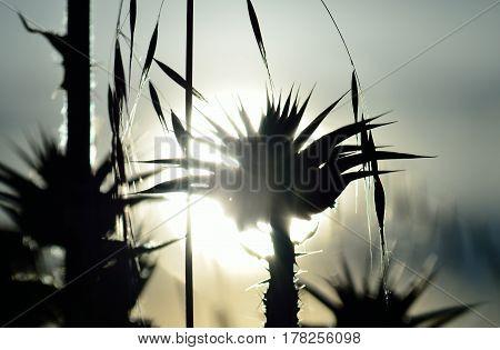 Flower of milk thistle backlit at sunrise, silybum marianum