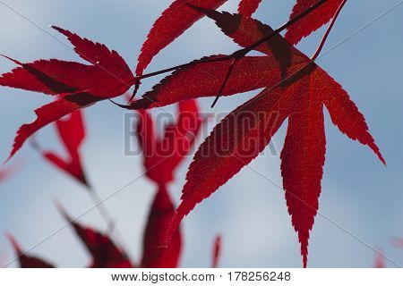 Rote Blätter eines Ahornbaumes vor blauem Himmel