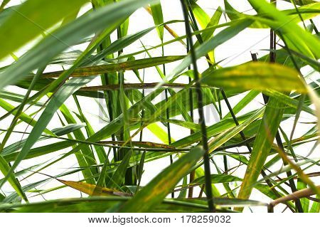 The leaves of wild herbs isolated on white.  Lovely background vegetation macro - green reed grass.