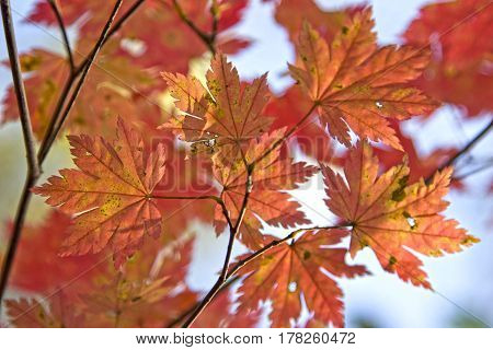 Bright red leaves of maple tree isolated on white background. Beautiful delicate autumn nature close - branch with leaves.