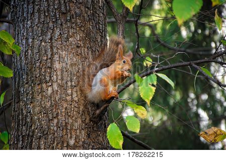 Red squirrel with a large fluffy tail and fluffy ears sitting on a branch of a large tree and gnaws a nut