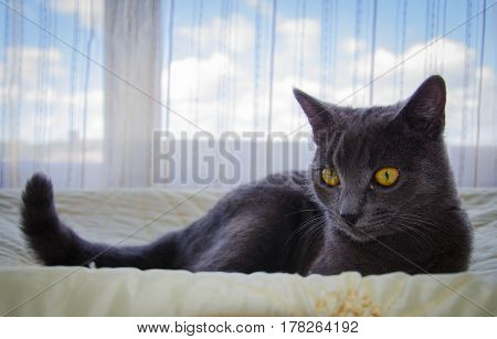The russian blue breed's cat is lying