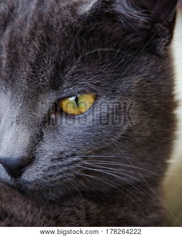 Russian blue breed cat with yellow eye