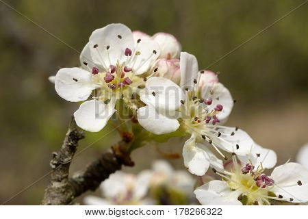 Blooming wild pear. Spring flowering trees. Pollination of flowers of pear.