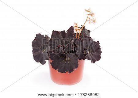 Beautiful begonia in a flower pot. Hybrid begonia Black Mambo. Decorative houseplant family flowering Begoniaceae.