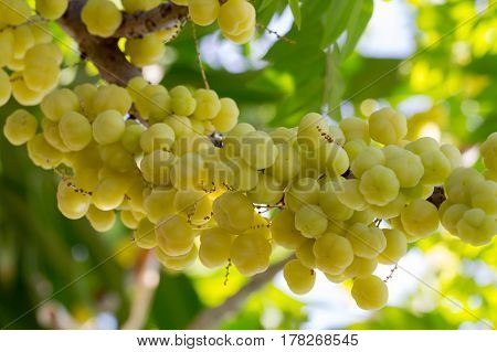 Plentiful 'Star gooseberry' fruits are hanging on their natural branch.
