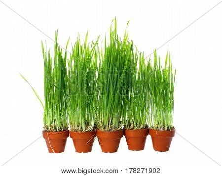 dewy grass in clay pot on white background
