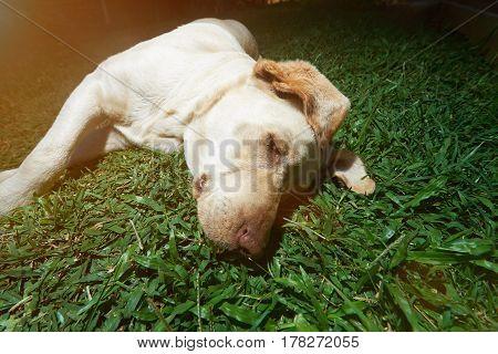 Head Of Labrador Dog Laying On Grass