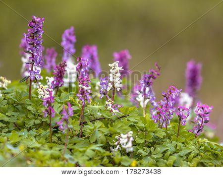 Blooming Hollowroot