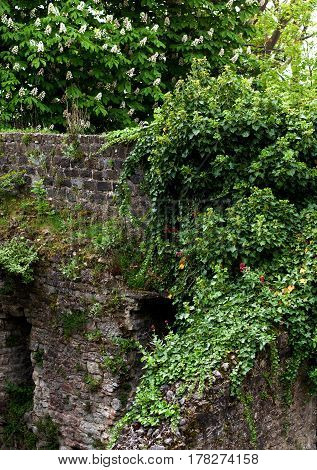Obsolete Stone Wall with Ivy and Flowering Bush under Blooming Chestnut Tree closeup Outdoors