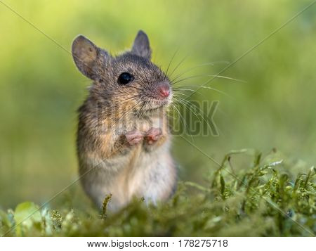 Erect Sitting Wood Mouse In Begging Position
