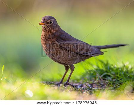 Female Blackbird Green Background