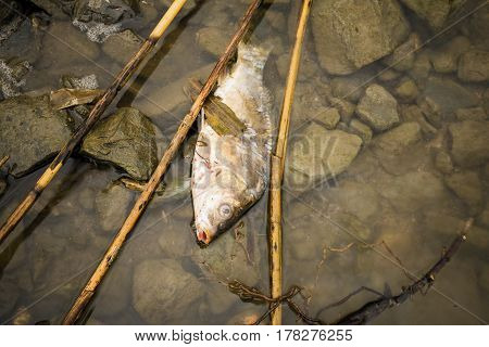 Dead fish on the river polluted water. Pollution environmental problem.