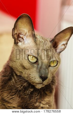 Oriental hairless egyptian mau cat with big yellow eyes. Animal pets cats concept.