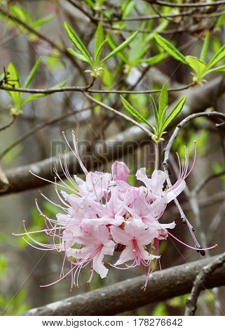 Vertical Pale pink wild azalea blossoming between 2 limbs in spring time