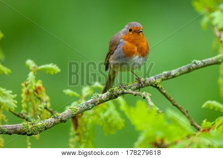 Red Robin Perched On A Flowering Oak Branch