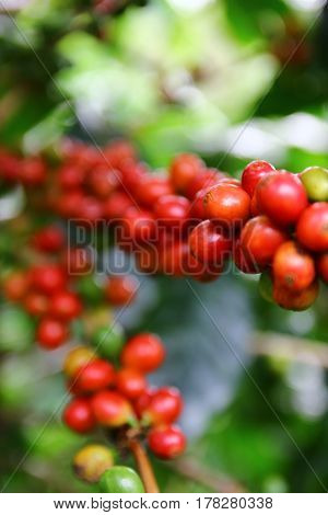 Coffee cherries on a coffee tree in Boquete Panama 1/4