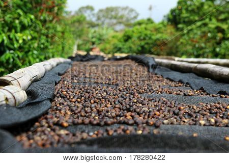 Coffee cherries lying to dry on bamboo raised beds in Boquete Panama