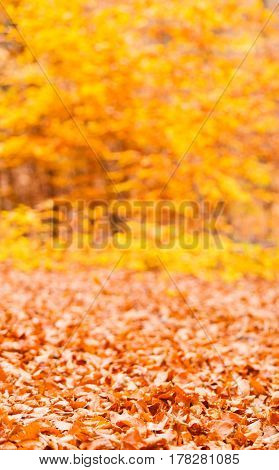Autumnal Seasonal Forest Scenery.