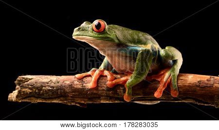 Red eyed tree frog at night on a twig in the rain forest of Costa Rica. Agalchnis callydrias or Monkey treefrog is a nocturnal animal.