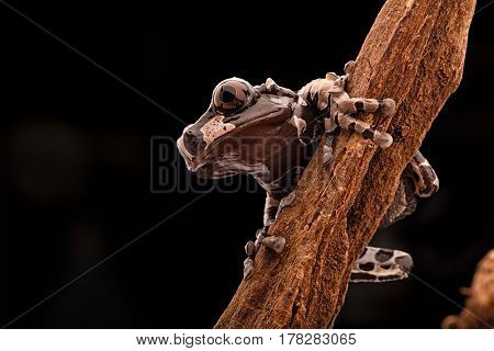the spiny headed tree frog of the Amazon rain forest. A beautiful rainforest animal at night in the jungle.